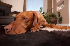 Собака кладя на пол дома стоковые изображения
