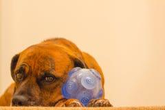 Собака кладя смотреть унылый с шариком Стоковые Фотографии RF