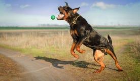 собака клиппирования 3d над белизной тени rottweiler перевода путя Стоковое фото RF