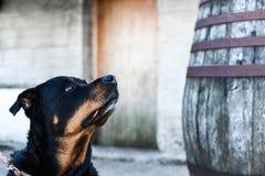 собака клиппирования 3d над белизной тени rottweiler перевода путя Стоковое Фото