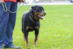 собака клиппирования 3d над белизной тени rottweiler перевода путя стоковые фото