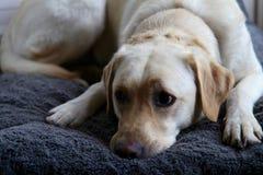 Собака Лабрадора лежа на кровати любимчика стоковая фотография