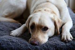 Собака Лабрадора лежа на кровати любимчика стоковое фото