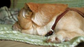 Собака Лабрадор лежа на кровати акции видеоматериалы