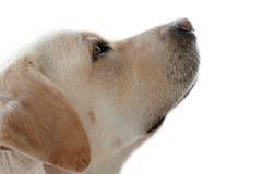 Собака Лабрадора смотря вверх изолированный стоковые изображения rf