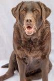 Собака Лабрадора шоколада Стоковое Изображение