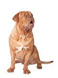 собака лаять огромная стоковая фотография rf