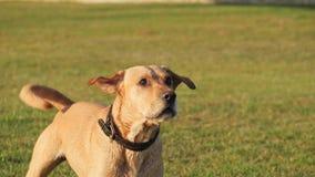 Собака лаяя и махать кабель Милая собака на зеленой траве акции видеоматериалы