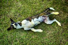 Собака лежа на лужайке Стоковое фото RF