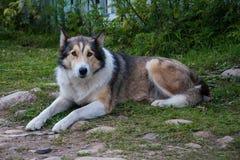 Собака лежа на траве смотря унылый стоковые фото