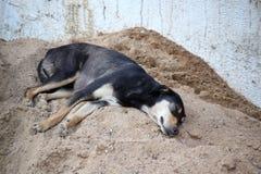 собака ленивая Стоковое Фото