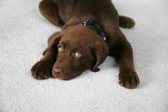 собака ленивая стоковая фотография