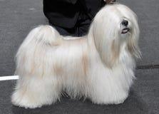 Собака Лхасы Apso Стоковая Фотография