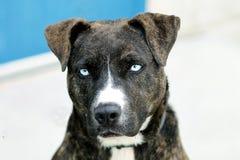 Собака льда наблюданная синью Brindle стоковая фотография rf