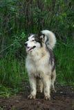 Собака маламута в зеленом лесе стоковое изображение