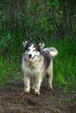 Собака маламута в зеленом лесе стоковое изображение rf
