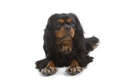 собака малая Стоковая Фотография RF