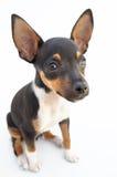 собака малая Стоковые Изображения