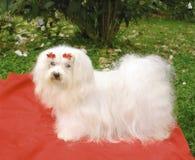 собака мальтийсная Стоковое Изображение RF