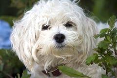 собака мальтийсная Стоковое фото RF