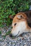 собака мечтая головка Стоковое Изображение