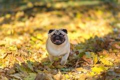 Собака мопса бежит на смолотых листьях осени рот открытый стоковая фотография