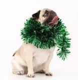 Собака мопса в белизне Стоковые Фото