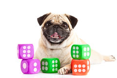 Собака мопса изолированная на белой предпосылке dices игрушки Стоковые Фото