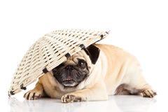 Собака мопса изолированная на белом любимчике Китае предпосылки Стоковые Фотографии RF