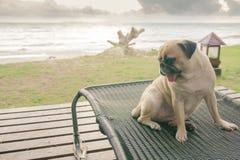 Собака мопса наблюдая взгляд летних каникулов на пляже, думая Стоковое Изображение RF