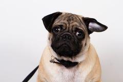 Собака мопса на белизне стоковые изображения rf