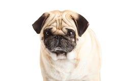Собака мопса на белом любимчике предпосылки Стоковая Фотография RF