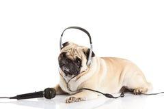 Собака мопса при наушники изолированные на белой концепции callcenter предпосылки Стоковое фото RF