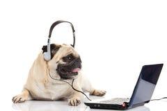 Собака мопса при наушники изолированные на белом callcenter предпосылки Стоковые Изображения