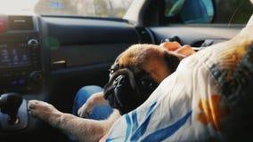 Собака мопса путешествует в автомобиле на его подоле около хозяйки Мы путешествуем вместе с вашим любимым любимчиком видеоматериал
