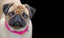 Собака мопса родословной с розовым представлением воротника изолированная на черноте стоковые фото