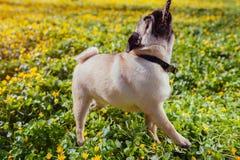 Собака мопса сдерживая деревянного щенка леса ручки весной имея потеху Счастливая собака играя с мастером стоковая фотография