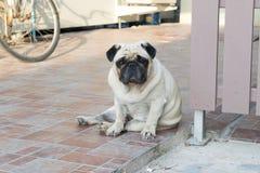 Собака мопса сидя на поле стоковое изображение