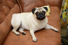 Собака мопса сидя на софе Стоковые Изображения