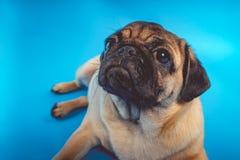 Собака мопса смотря камеру стоковые изображения rf