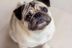 Собака мопса смущает что-то стоковые изображения