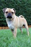 Собака мопса стоя на траве Стоковые Фото