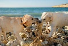 Собака, море, океан, labrador, порода, бой, тренировка, игра, животное, утес Стоковое Изображение RF