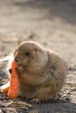 собака моркови есть прерию Стоковое Фото