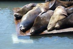 Собака моря Стоковые Фото