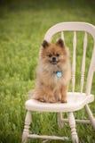 Собака модели Pomeranian Стоковые Фото