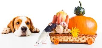 Собака наблюдает по мере того как крыса принимает отсутствующие продукты Стоковая Фотография