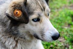 Собака наблюданная синью осиплая в лесе Стоковые Изображения RF