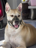 Собака намордника Стоковое Фото