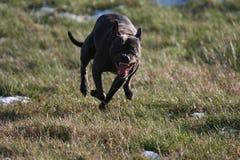 собака нападения стоковое изображение rf